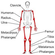burncourt national skeleton