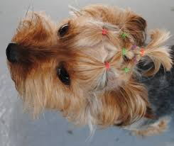 hair accessories for yorkie poos image result for yorkie haircut back doggies pinterest