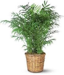 best low light indoor trees the best indoor palm trees