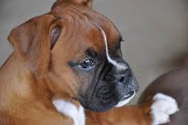 boxer dog jaw boxer puppies dogtime