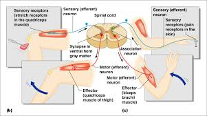 Pain Reflex Pathway Behavioral Neuroscience Lecture On Fundamentals Of Neurocircuitry