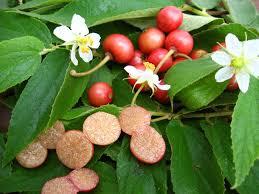 edible native australian plants edible native australian plants magickalideas com