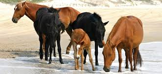 North Carolina wildlife tours images Bob 39 s wild horse tours corolla nc jpg