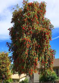 weeping bottlebrush tree santa barbara beautiful