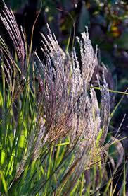 rhs plant selector miscanthus sinensis grosse fontäne agm rhs