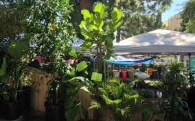 the best shops in l a to find a fiddle leaf fig tree los