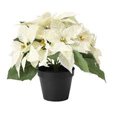 white poinsettia send white poinsettia on christmas to your loved ones