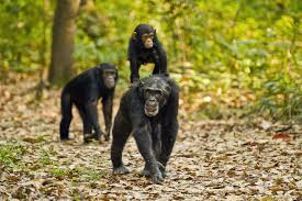 you can help chimps by watching videos u2013 cool green science