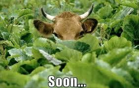 Funny Cow Memes - funny soon meme 38 pics