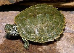 map turtle cagle s map turtle em graptemys caglei em