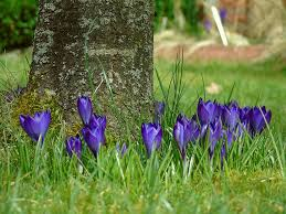 free photo blue flower crocus spring flowers purple garden max pixel