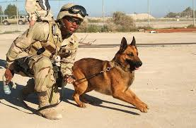 training a belgian sheepdog how do you train a dog to sniff bombs