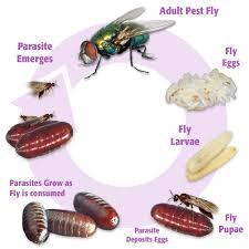 parasite complex unit of 45 000