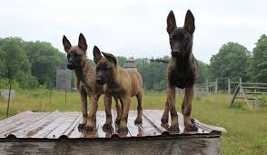 belgian malinois energy our dogs baden k 9
