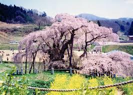 blossom trees sakura soul of japan the japan times