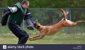 training a belgian sheepdog a belgian shepherd dog attacks a potential attacker at the service