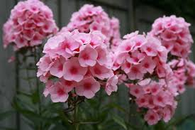 phlox flower file phlox paniculata flower jpg wikimedia commons