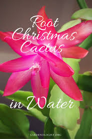 difference between thanksgiving and christmas 50 best caring for my christmas cactus images on pinterest