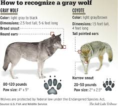 types of grays gray wolf wikipedia