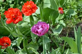 free images nature purple petal bloom tulip green red
