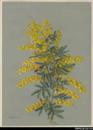 native plants south australia the cootamundra wattle acacia baileyana was introduced to south