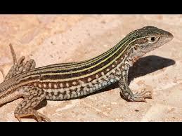 Lizard Meme - push up lizard shooting stars meme youtube