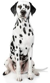 dalmatian information facts pictures training grooming