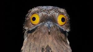 Potoo Bird Meme - very funny pics page 77 of 1025 funny pictures memes cartoons