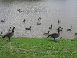 durango avoiding getting goosed at sikes lake thinking