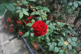 wan u0027s footprints the world rose garden kundasang sabah