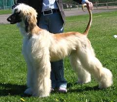 afghan hound 9 months scaramis litter