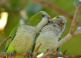 Parrot Decorations Home by Quaker Parrot As Pets Species Profile
