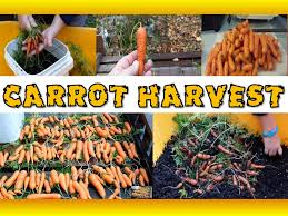 harvesting carrots grown in containers grow organic carrots in 5