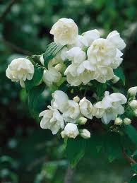 Fragrant Night Blooming Plants - best 25 white gardens ideas on pinterest green moon 2016 bush