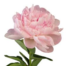 peony flowers peony flower october delivery