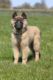 belgian sheepdog puppy cost tervuren belgian shepherd puppy standing on grass kimballstock