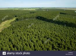 aerial view of eucalyptus trees at a commercial tree farm