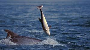 bbc earth cute and cuddly dolphins are secretly murderers