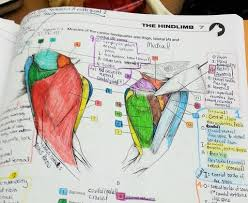 Dog Anatomy Heart Anatomy Of A Hindlimb U2013 I Heart Guts