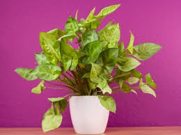 arrowhead plant syngonium podophyllum