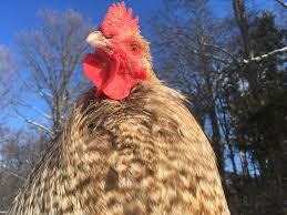 chicken head shots backyard chickens