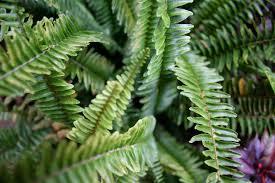 leaf drop on boston fern u2013 reasons for boston fern losing leaves