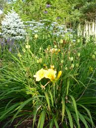stella daylily perennials how to deadhead a daylily