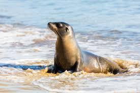 galápagos sea lion wikipedia