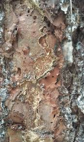 uf researchers find termites are killing south florida trees