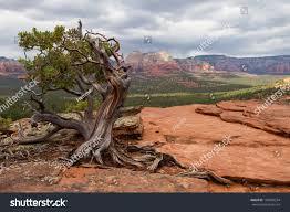 manzanita tree manzanita tree region sedona rock stock photo 169958534
