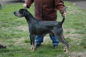 videos of bluetick coonhounds 2 cameron uchtman hounds for sale w pics and videos