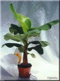 banana tree care