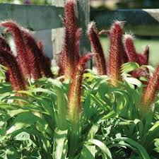 ornamental millet seeds grow ornamental millet harris seeds