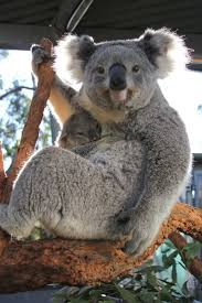 2249 best australian native plants images on pinterest native 2300 best koala bears images on pinterest koala bears koalas